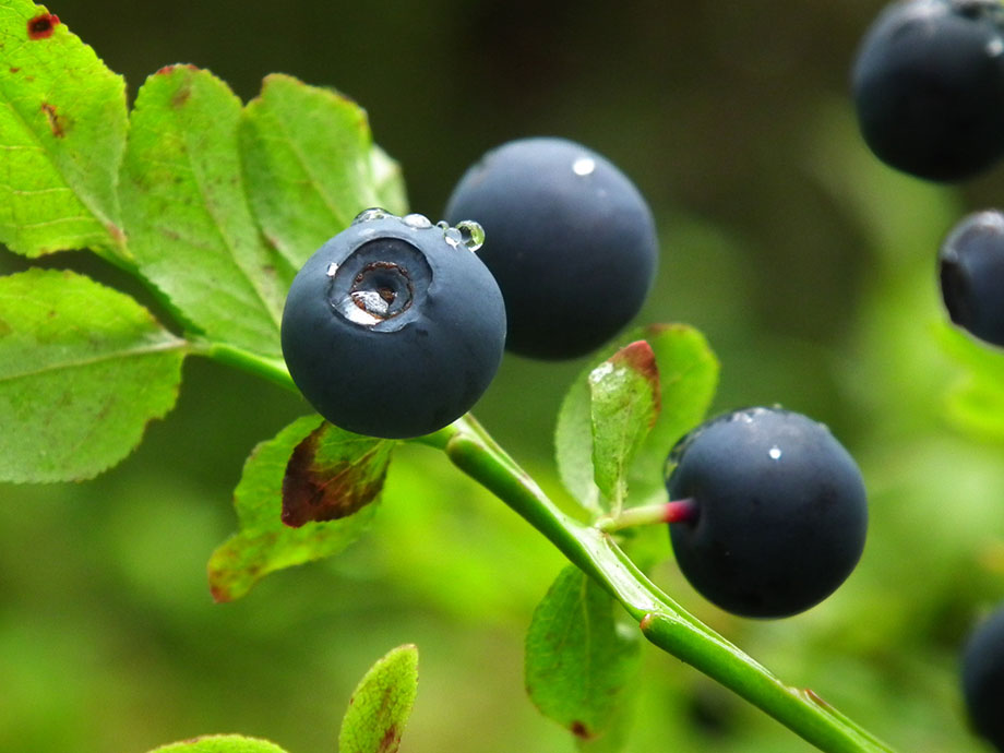 Bilberry fruit plant pictures
