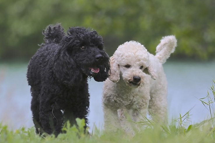 Black and white poodle pictures