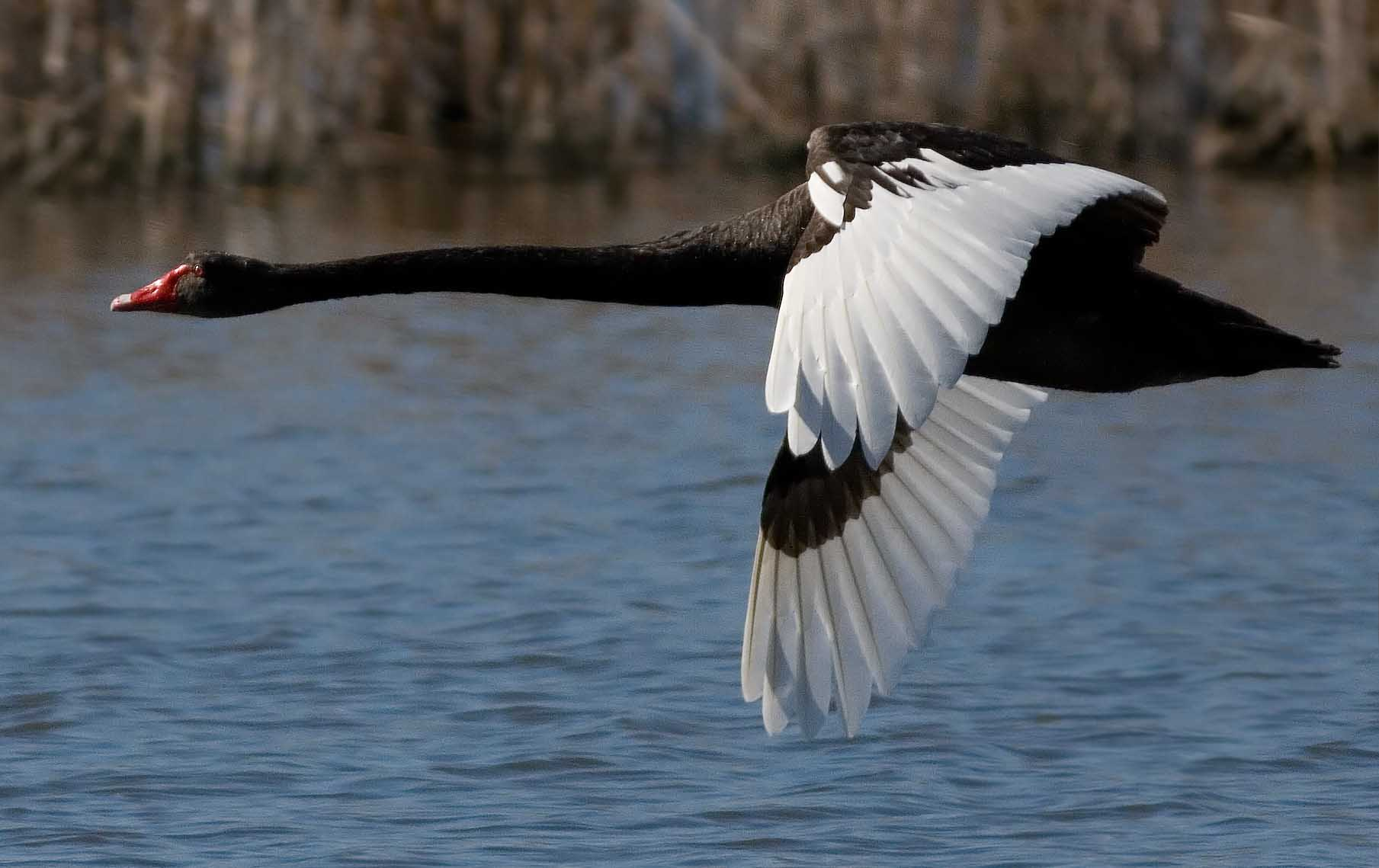 Black swan flying pictures