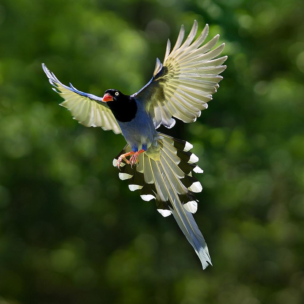 Blue magpie bird cute wallpaper