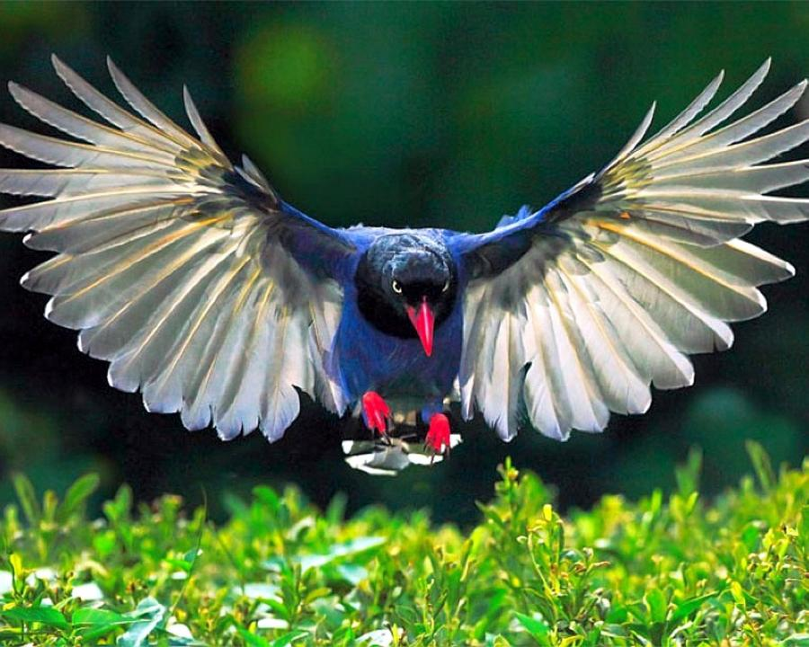 Blue magpie bird flying pictures