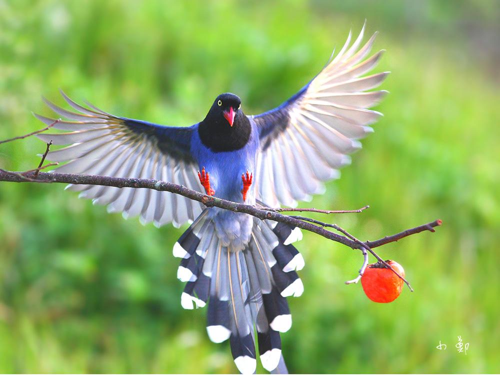 Blue magpie bird images