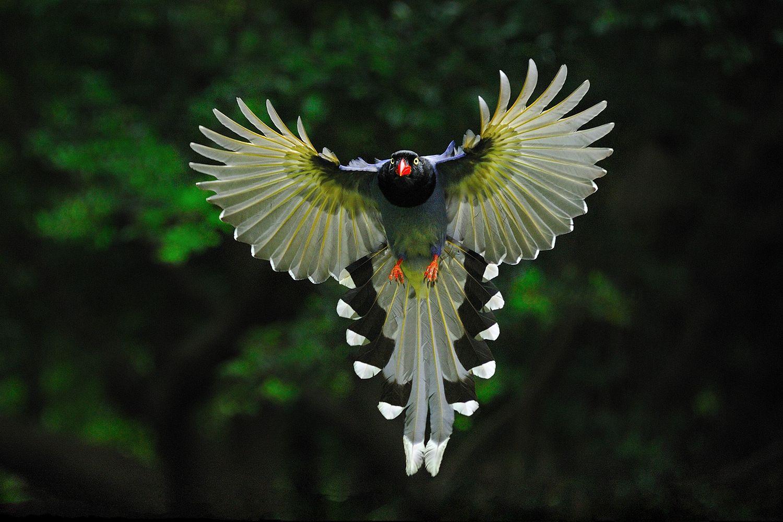 Blue magpie bird photos