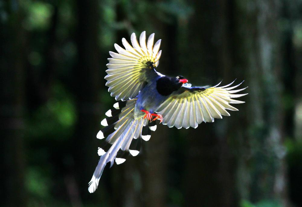 Blue magpie bird pictures