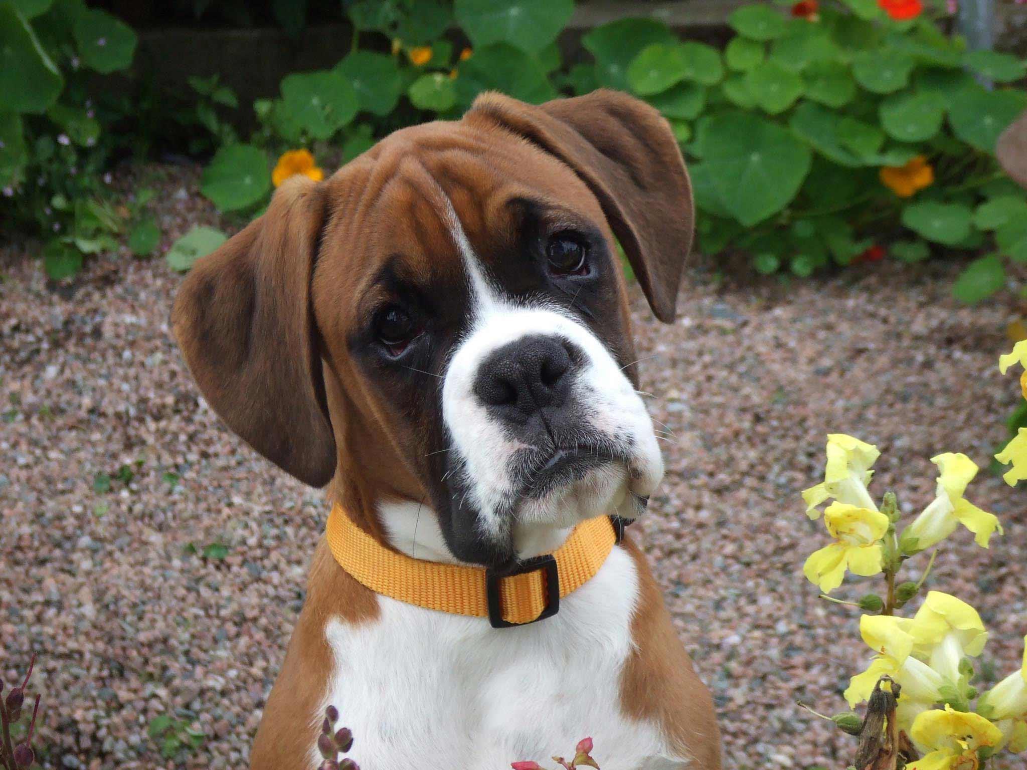 Boxer puppies photos