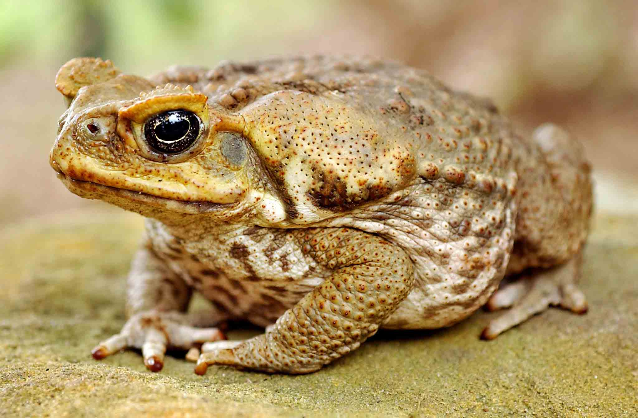 Cane toad animals wallpapers