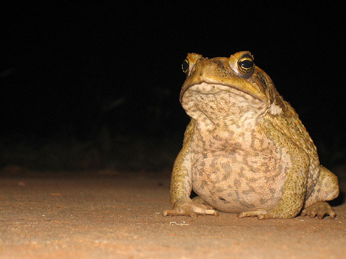 Cane toad australian animals pictures
