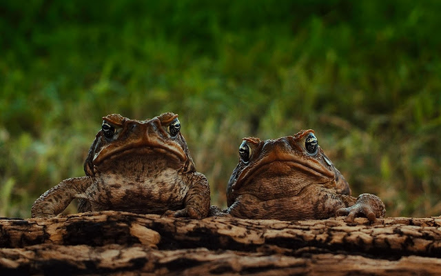 Cane toad family photos