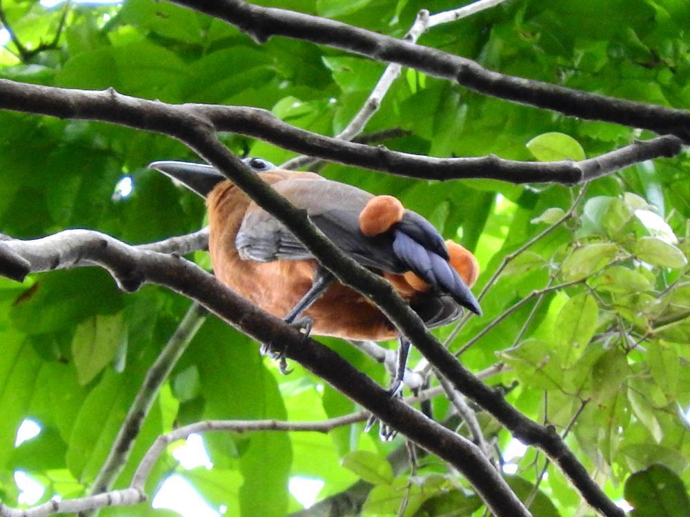 Capuchinbird cute pictures