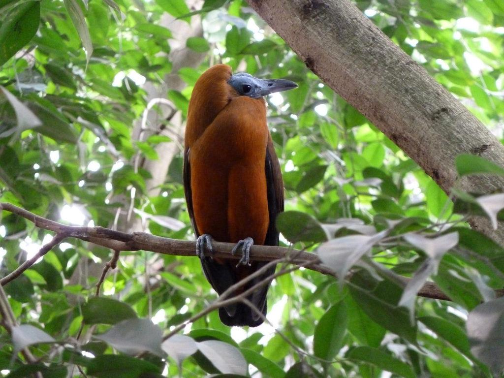 Capuchinbird single bird pictures