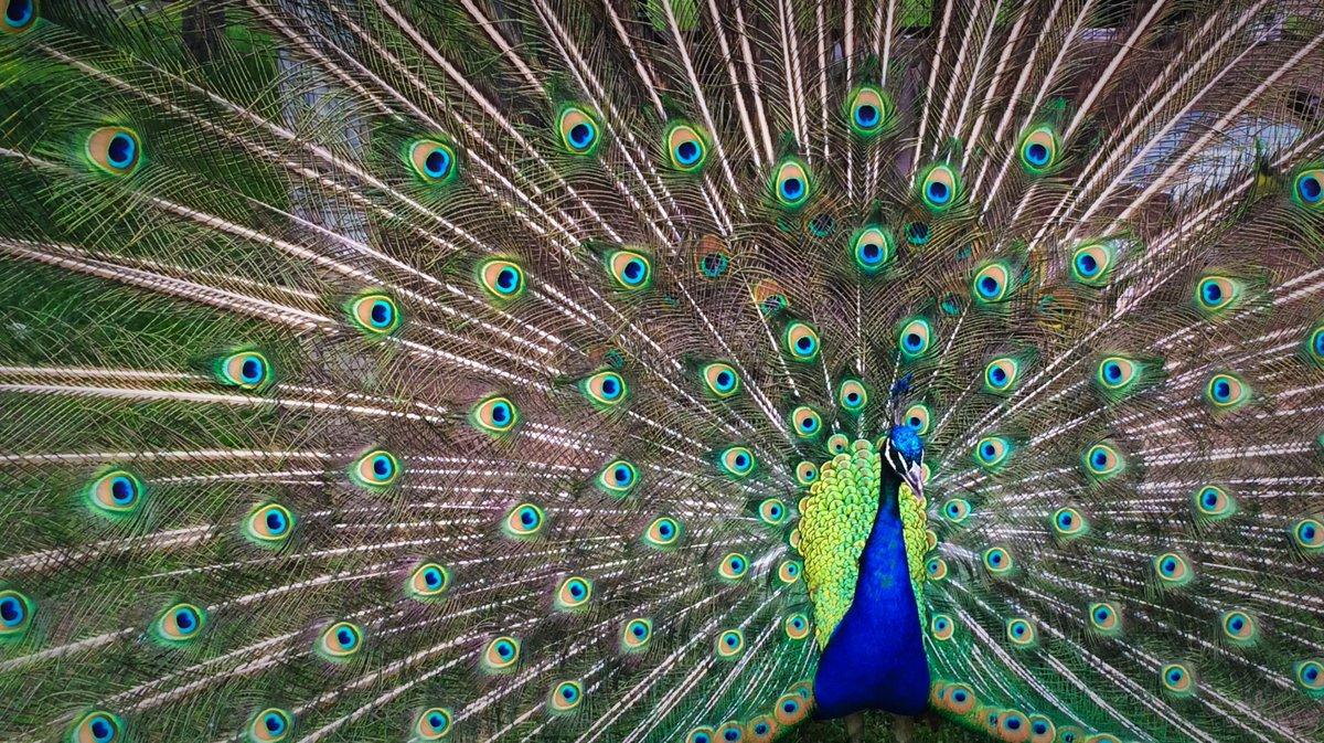 Coolest piebald peacock bird wallpaper