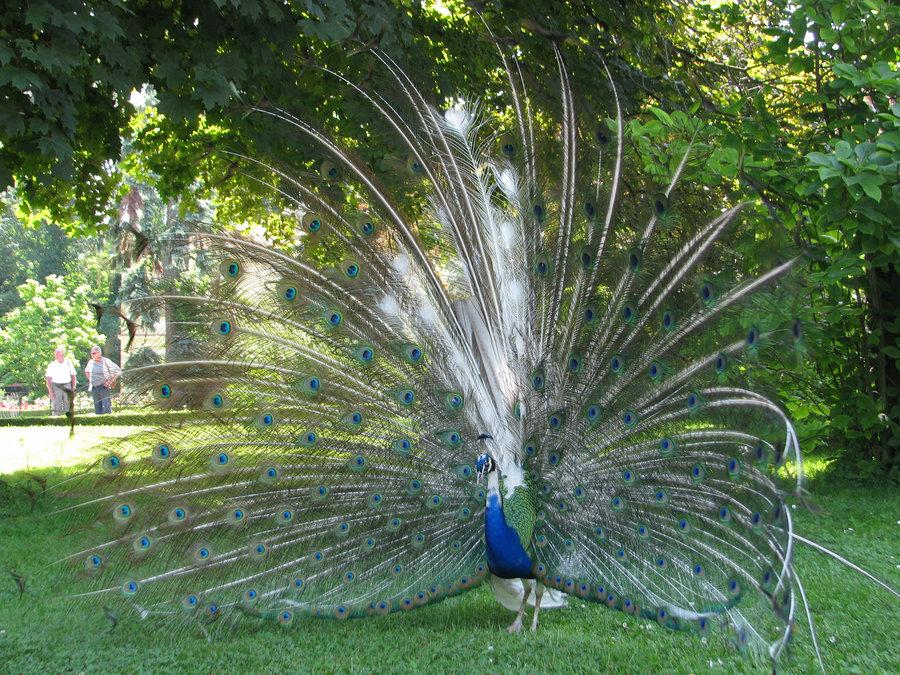 Coolest piebald peacock birds
