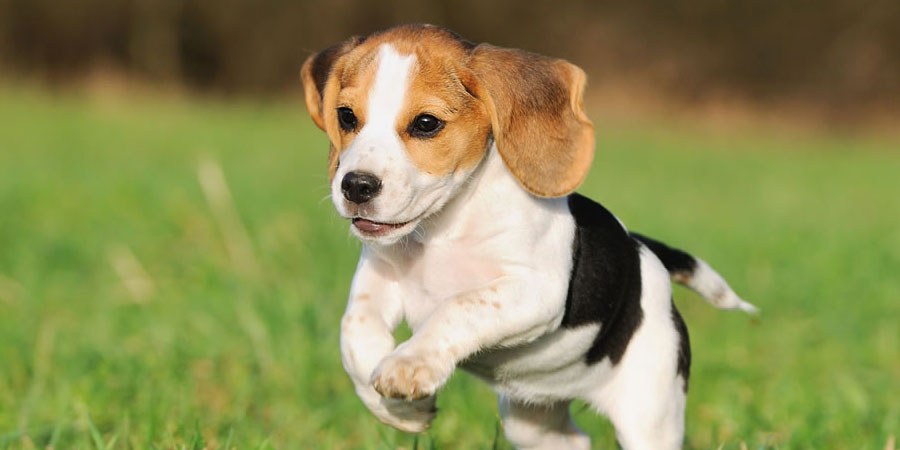 Cute beagle dog pictures