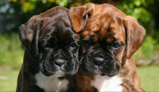 Cute boxer dog gallery