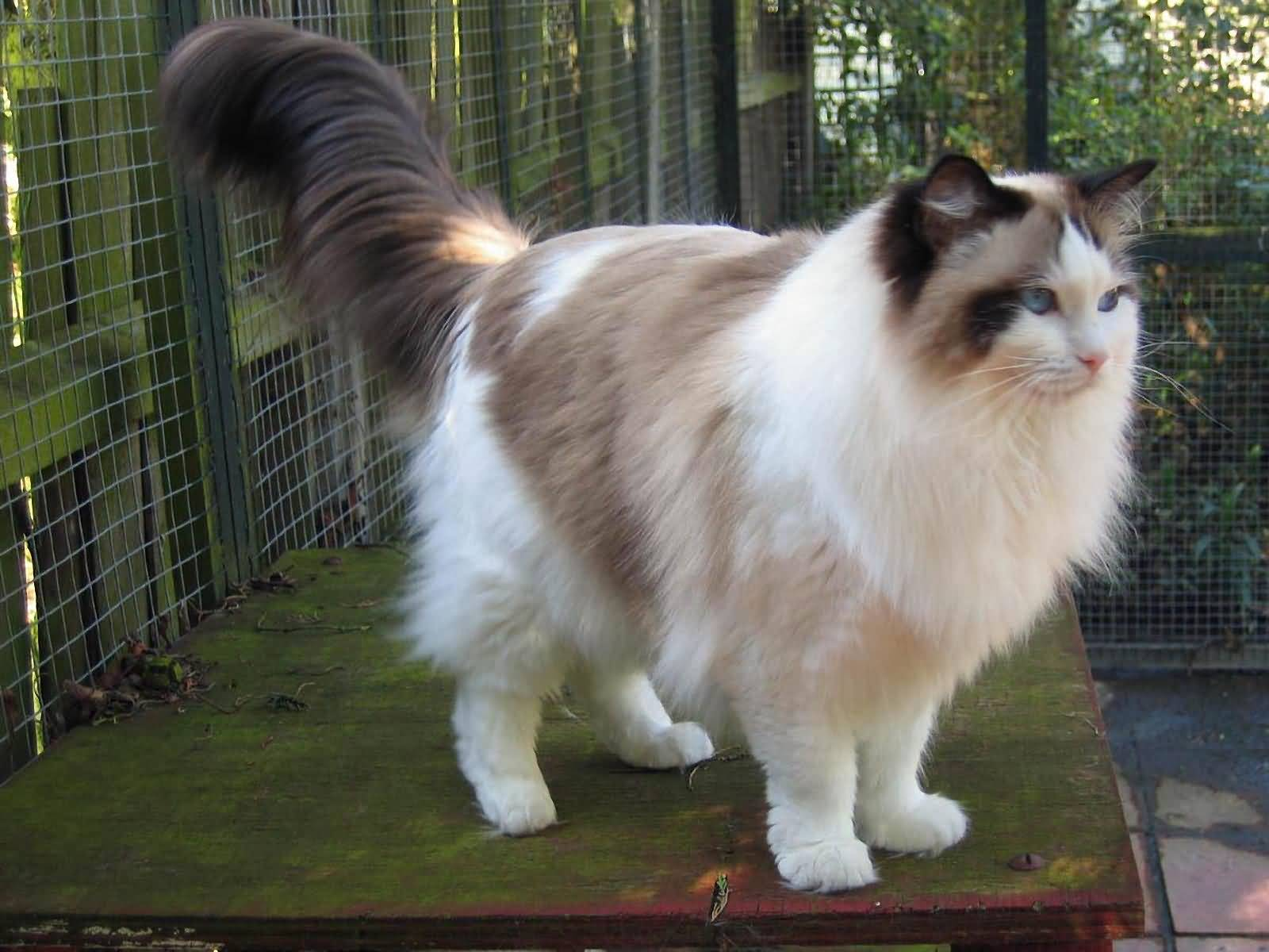 Cute ragdoll cat pictures