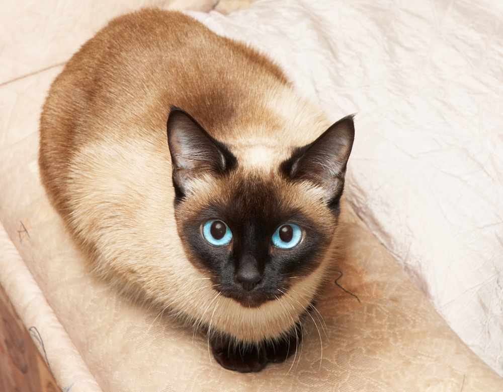 Cute siamese cat pictures