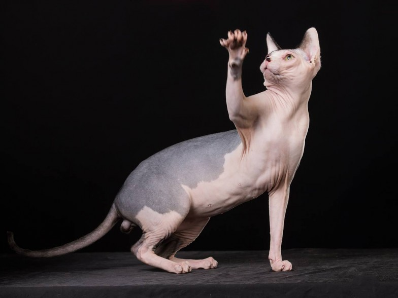 Cute sphynx cat pics