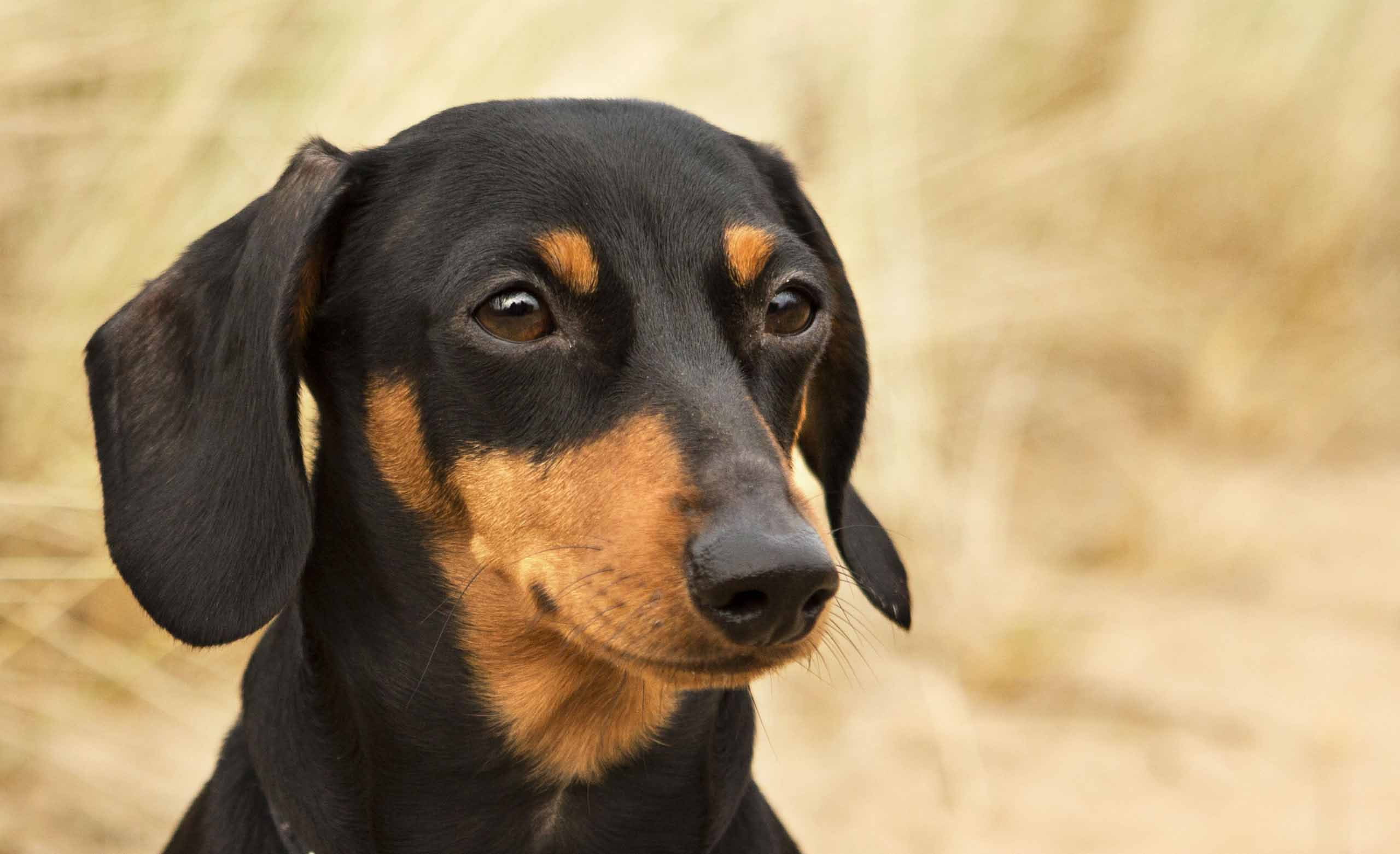 Dachshund dogs face pictures