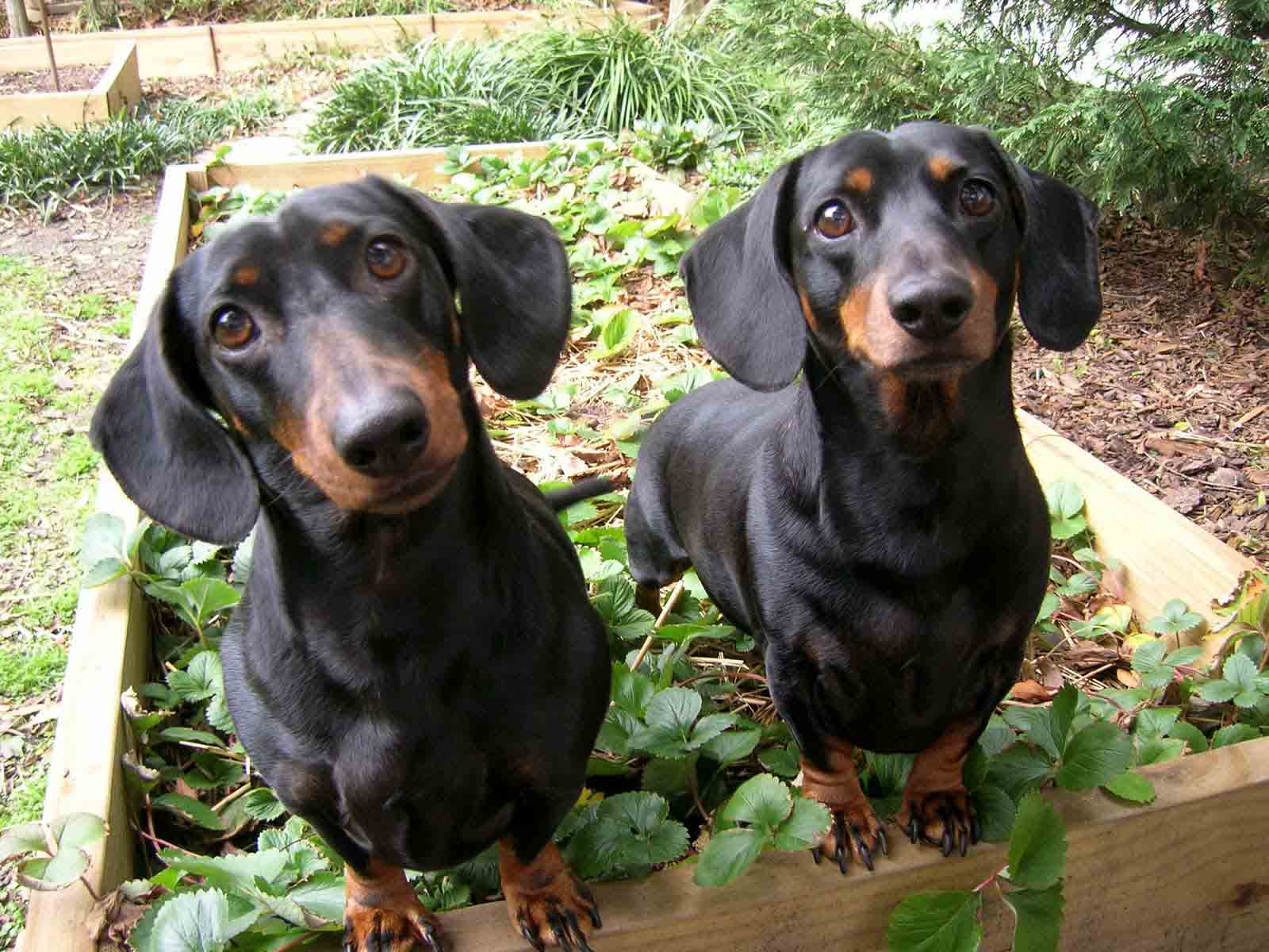 Dachshund family images