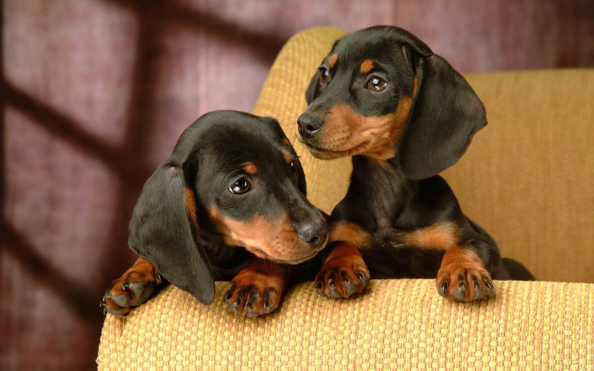 Dachshund puppies gallery
