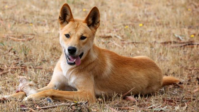 Dingo animals pictures