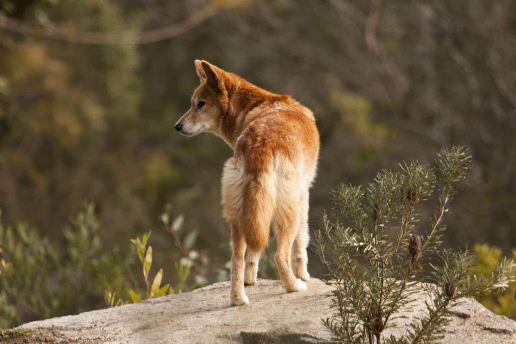 Dingo australian animals wallpapers