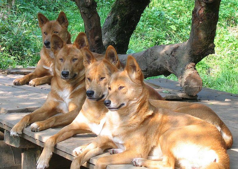 Dingo group photos