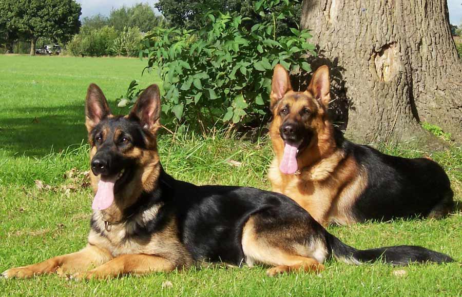 German shepherd family photos