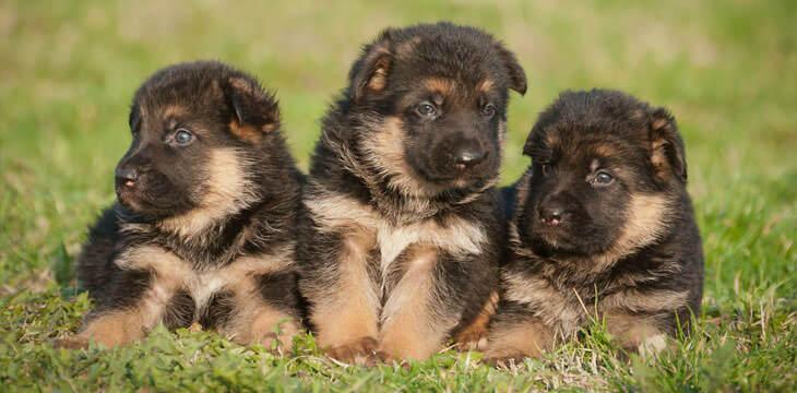 German shepherd puppies gallery