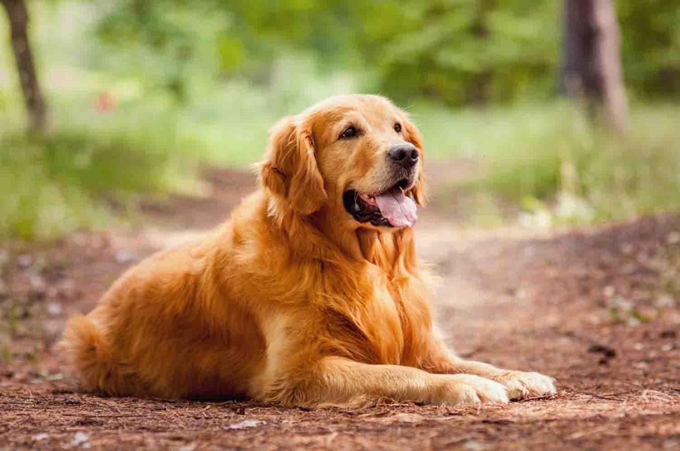 Golden retriever animals gallery