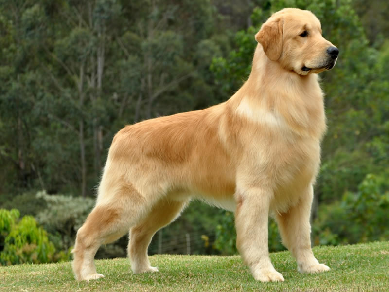 Golden retriever dog pictures