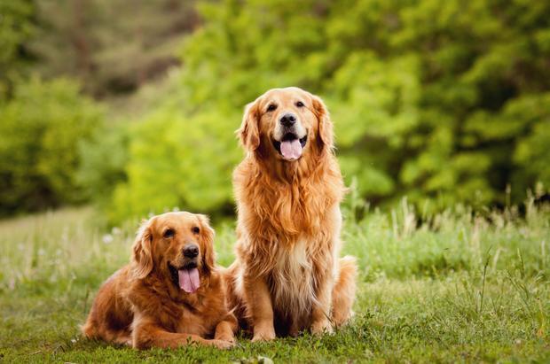 Golden retriever family photos