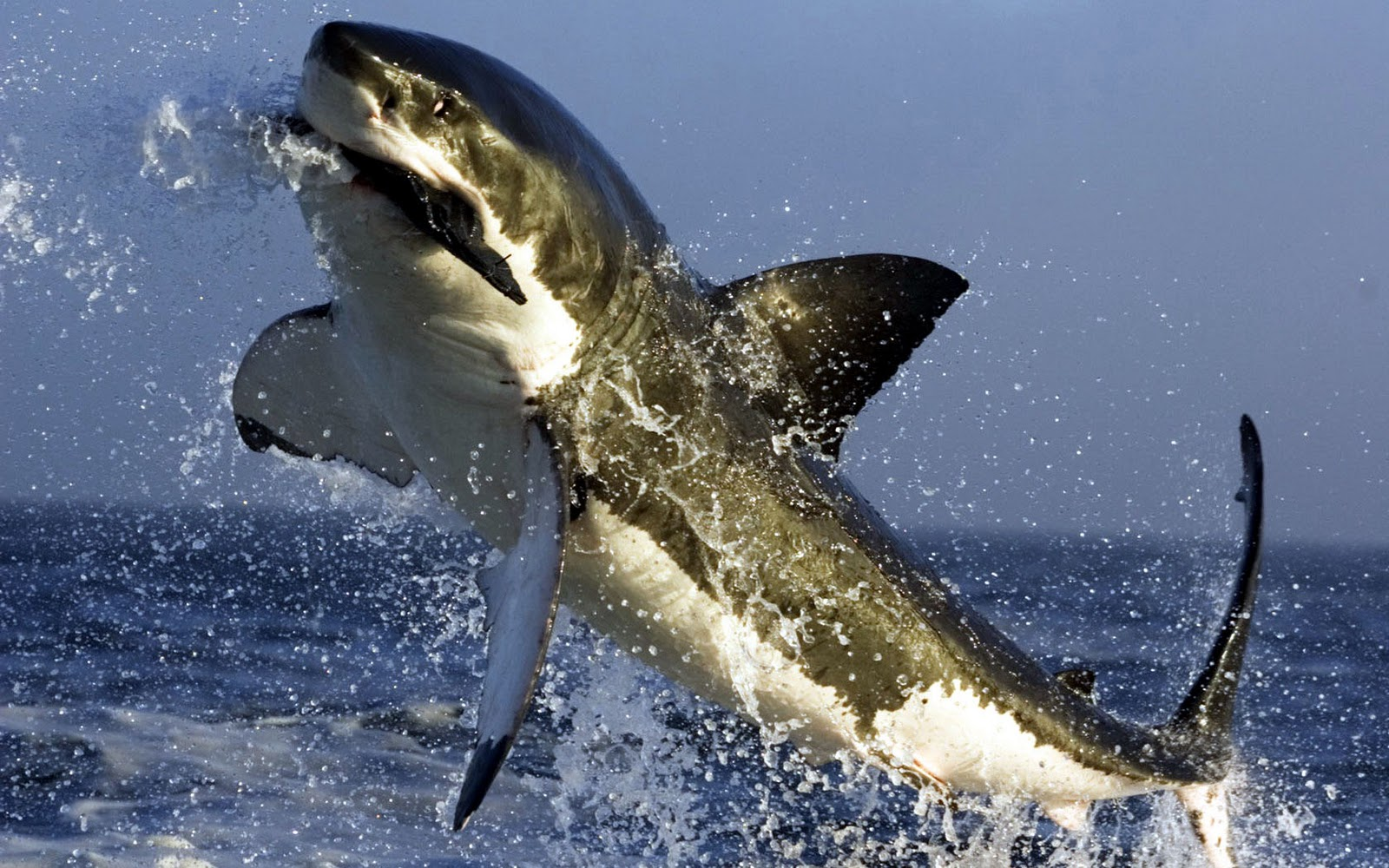 Great white shark attack pictures