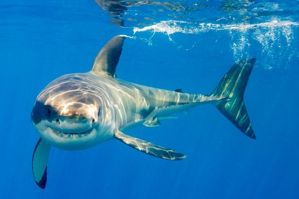 Great white shark australian animals pics