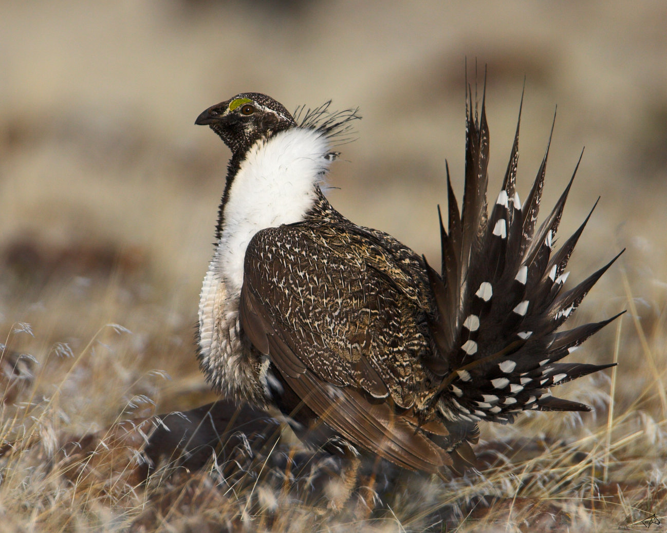 Greater sage grouse bird pictures