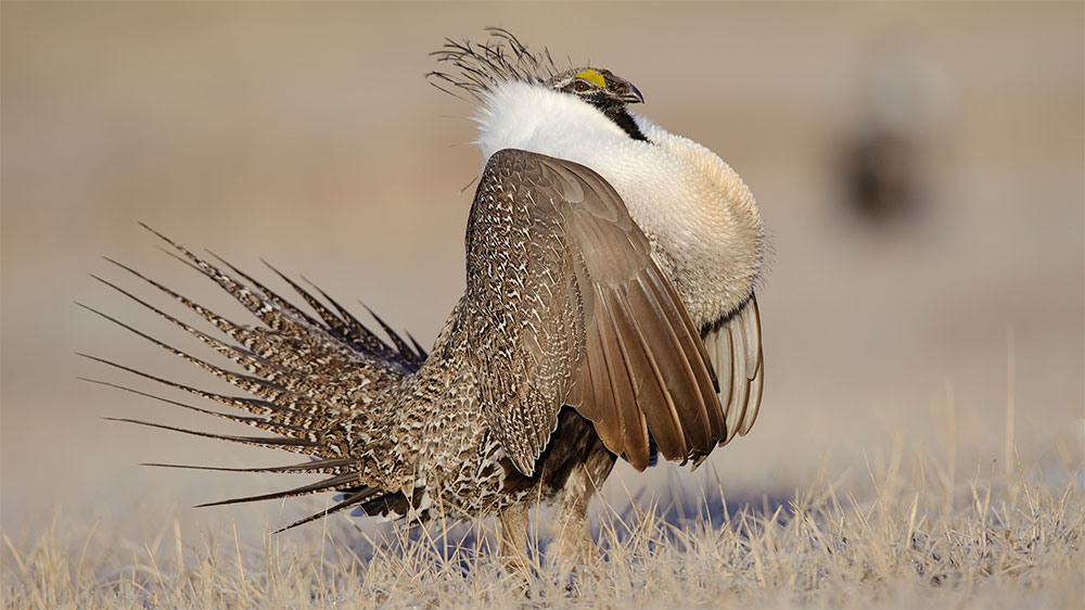 Greater sage grouse bird stills