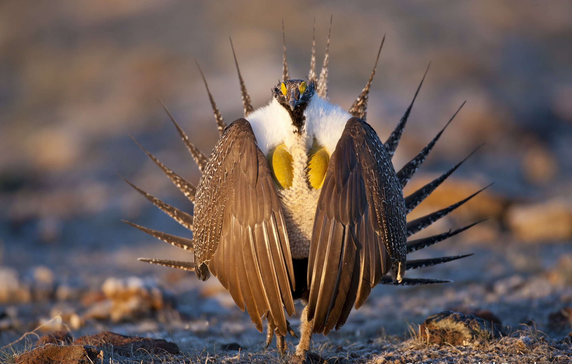 Greater sage grouse bird wallpaper