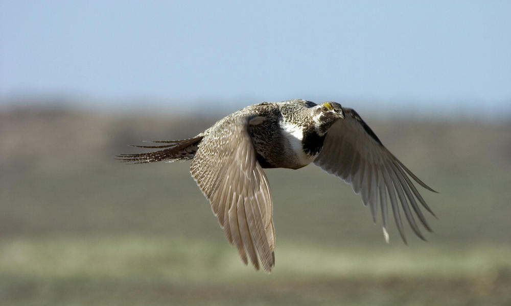 Greater sage grouse flying bird pictures