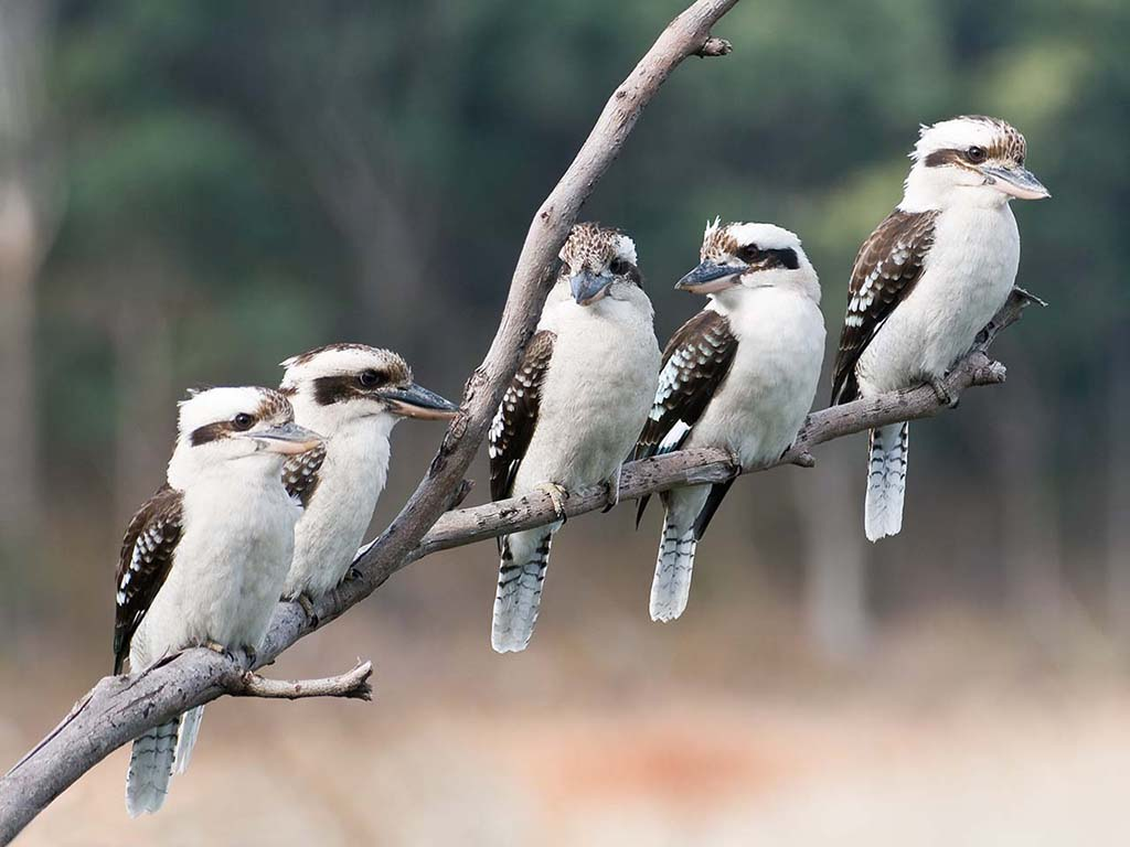 Group of kookaburra birds photos