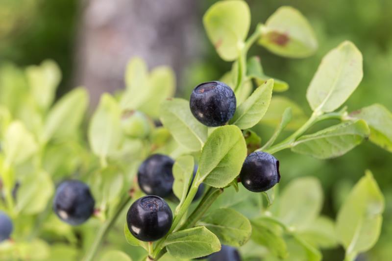 Hd bilberry fruit wallpaper