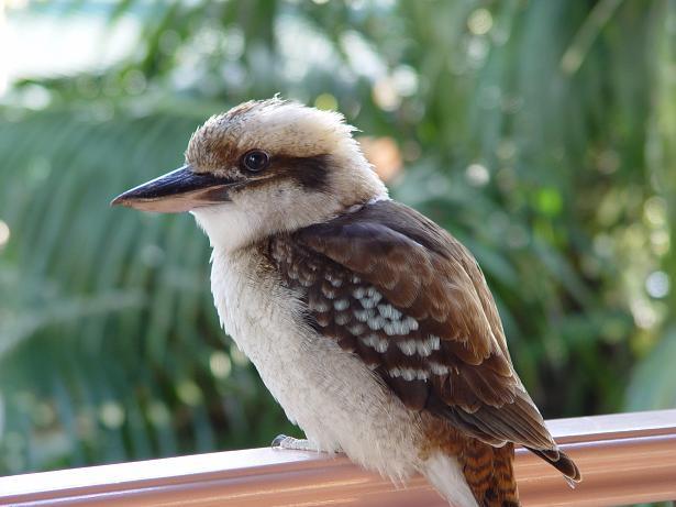 Kookaburra baby birds gallery