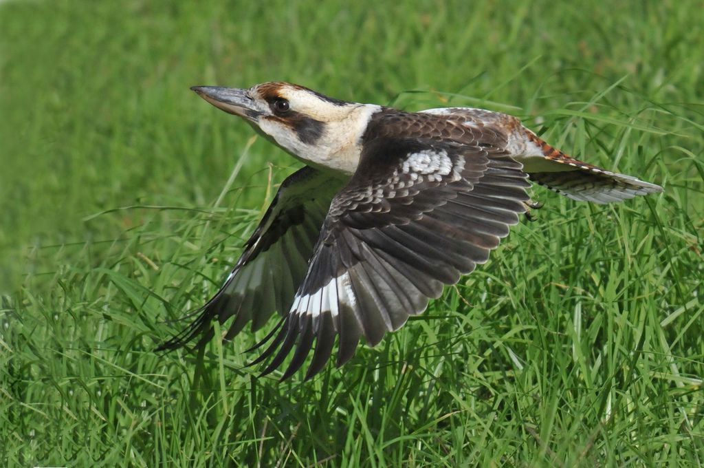 Kookaburra flying pictures