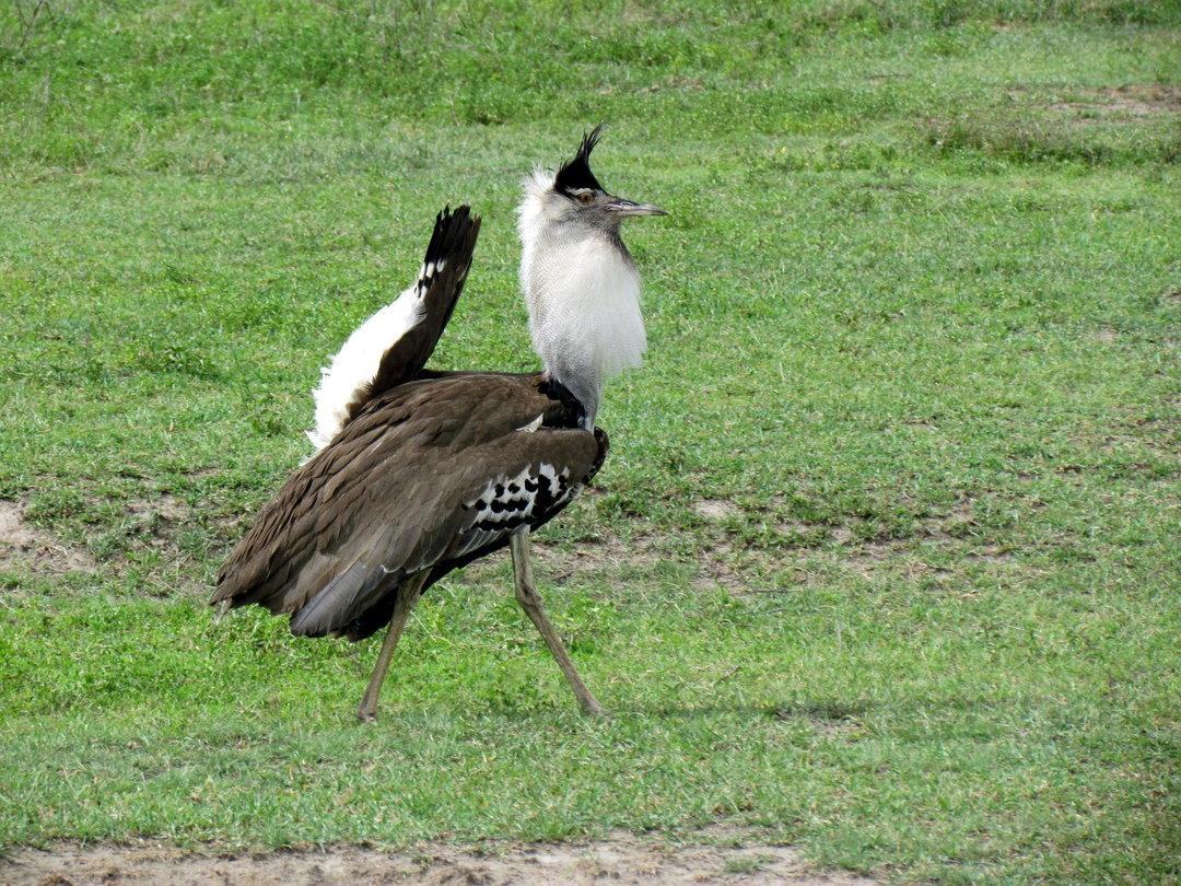 Kori bustard bird images