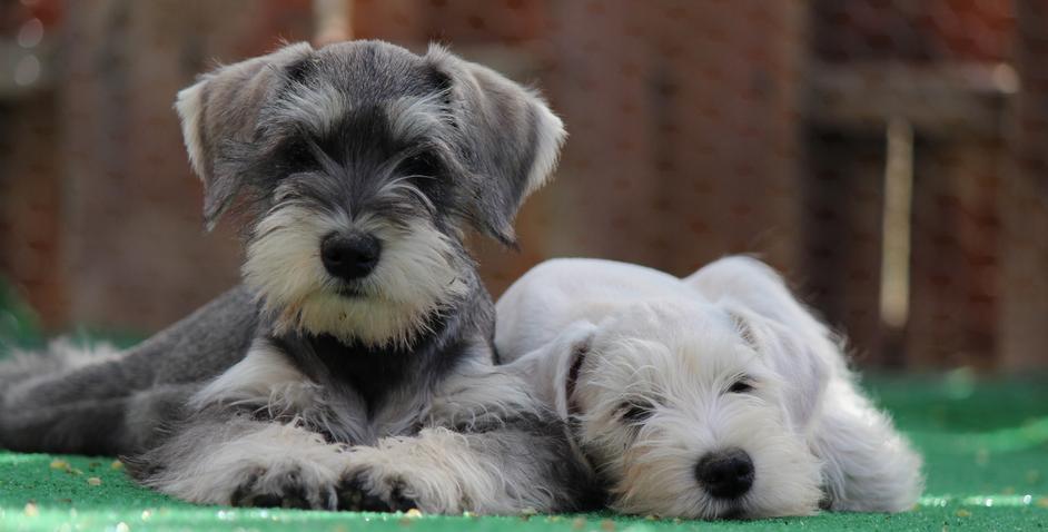 Miniature schnauzer dog pictures