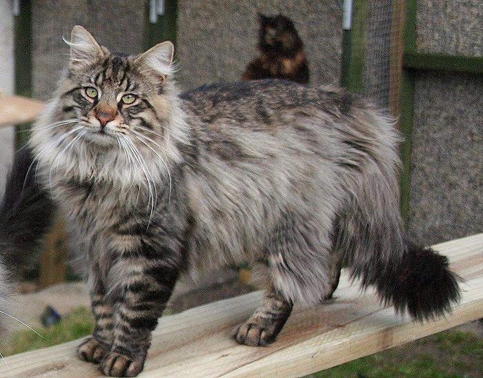 Norwegian forest cat gallery