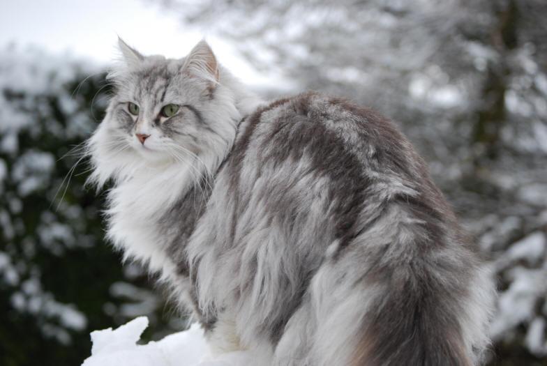 Norwegian forest cat pictures