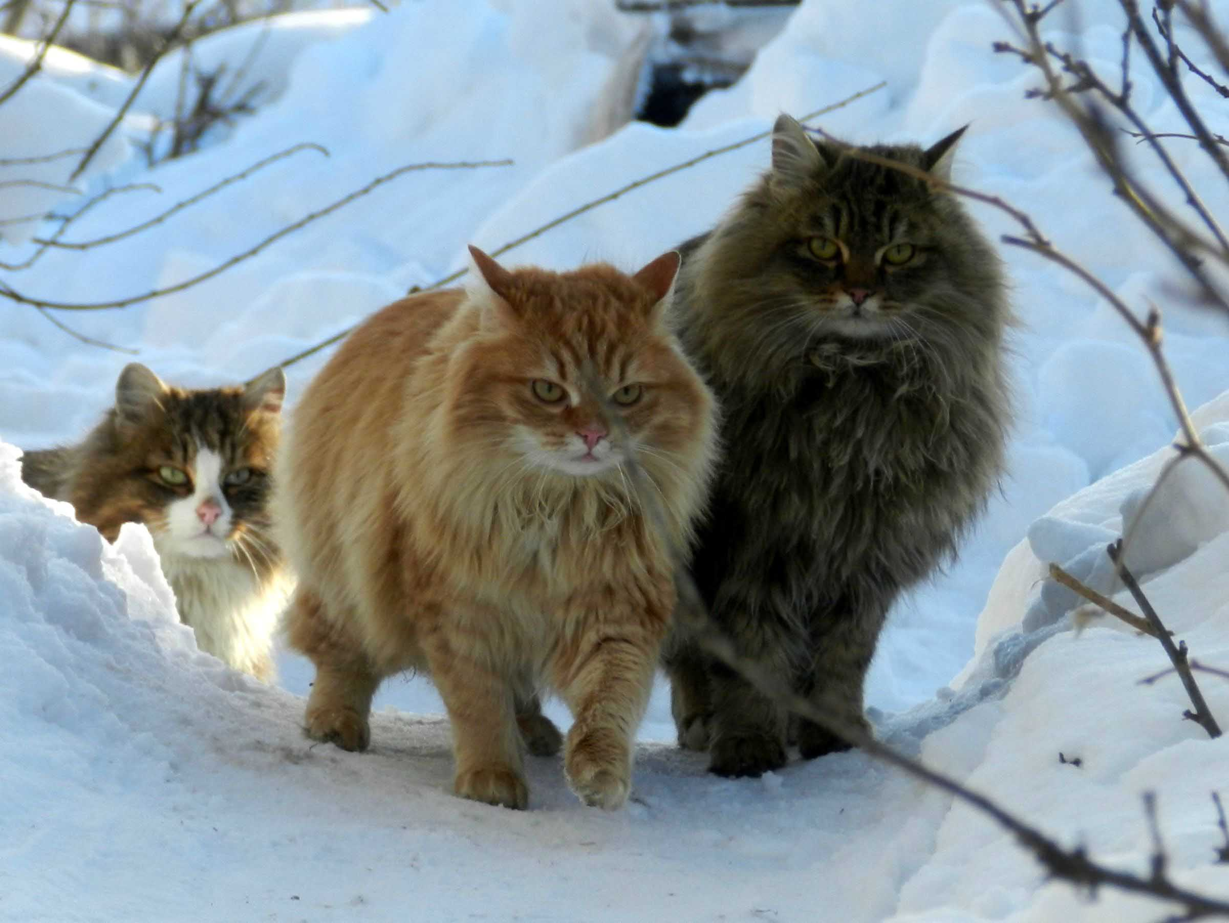 Norwegian forest family photos