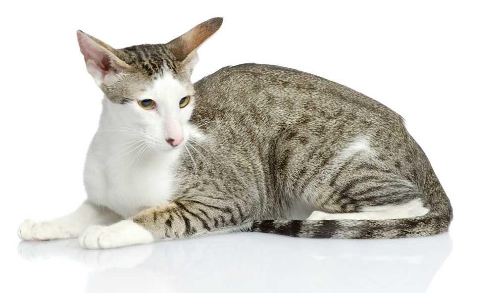 Oriental cat animal pics