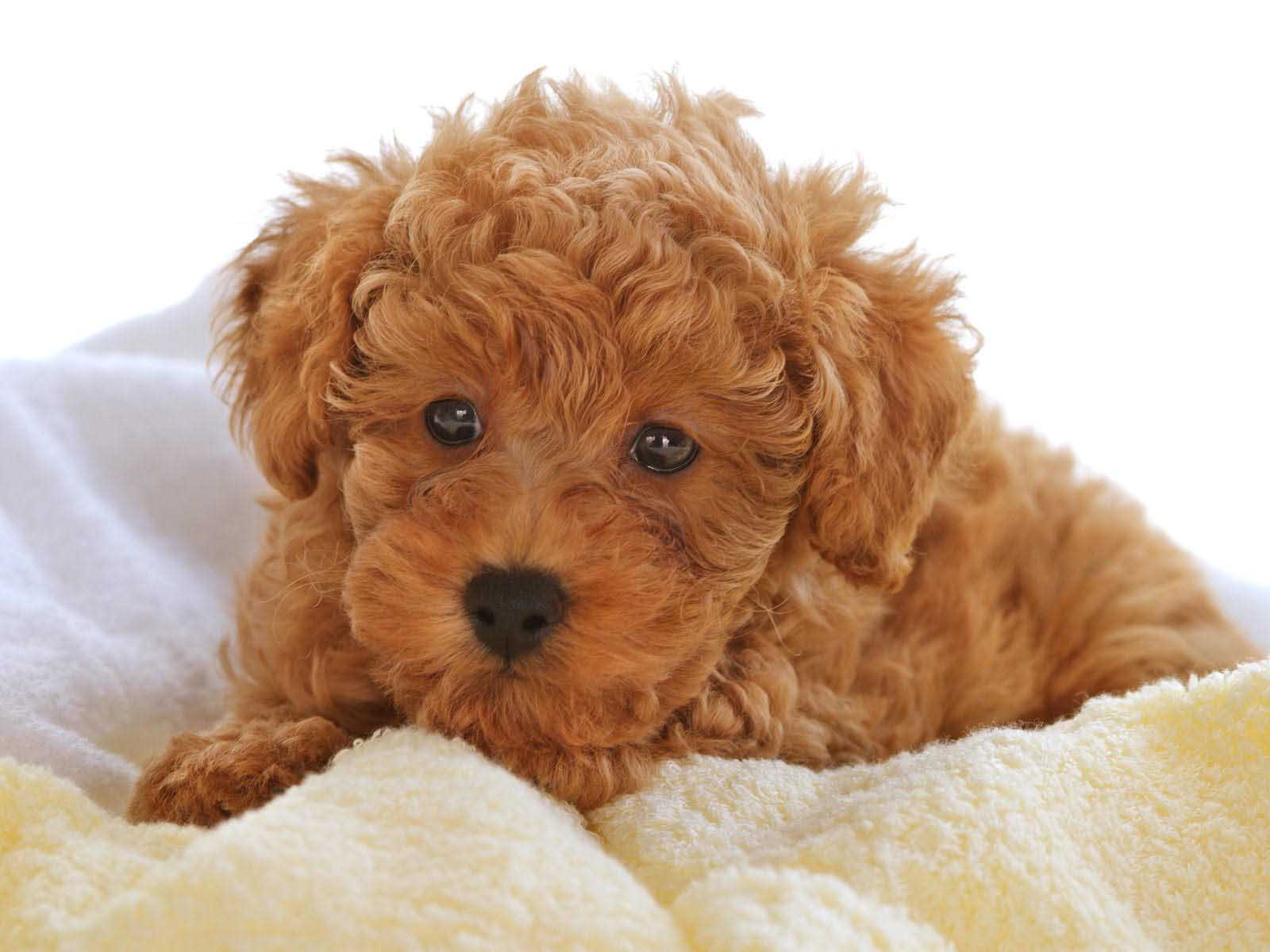 Poodle cute wallpapers