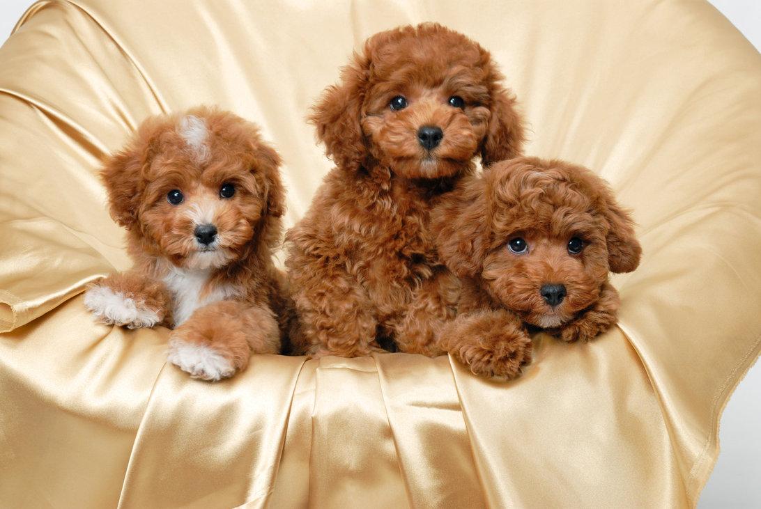 Poodle family photos